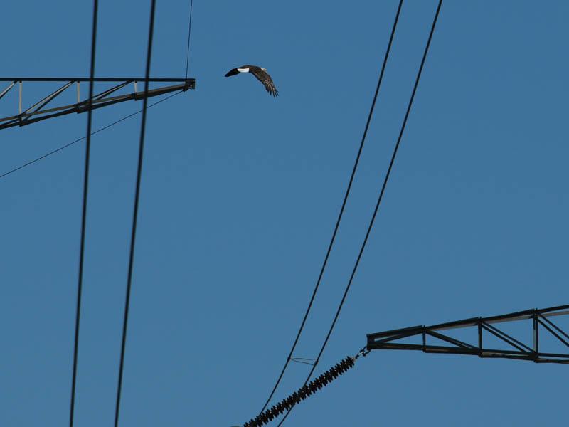baldeagle-nestweekeleven-002