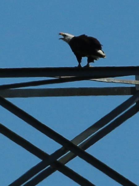 baldeagle-nestweekeleven-004