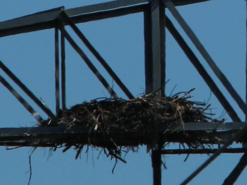 baldeagle-nestweekeleven-005