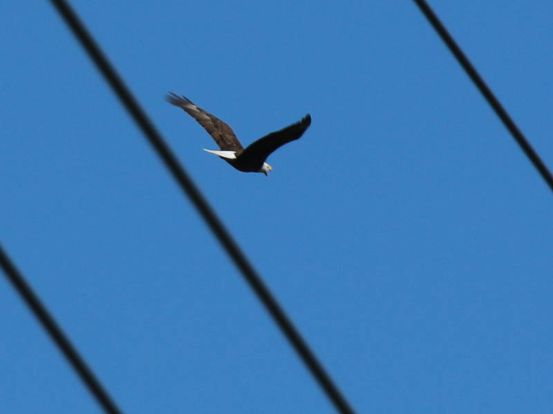 baldeagle-nestweekeleven-012