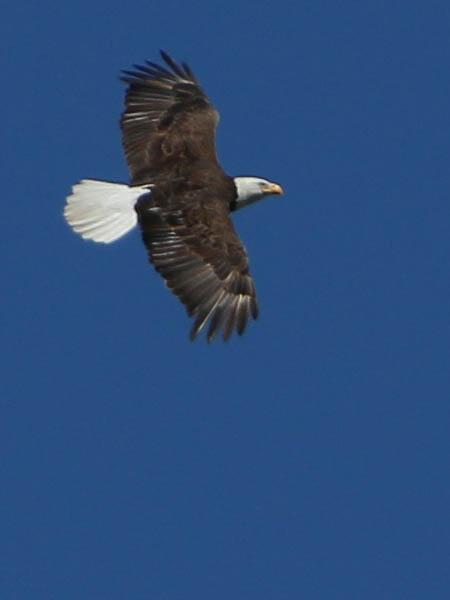 baldeagle-nestweekeleven-015
