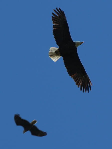 baldeagle-nestweekeleven-017