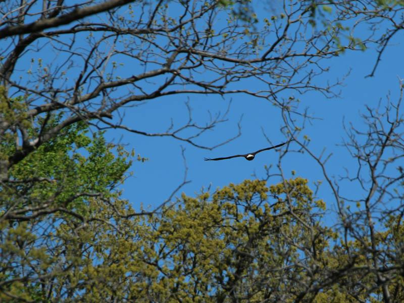 baldeagle-nestweekeleven-018