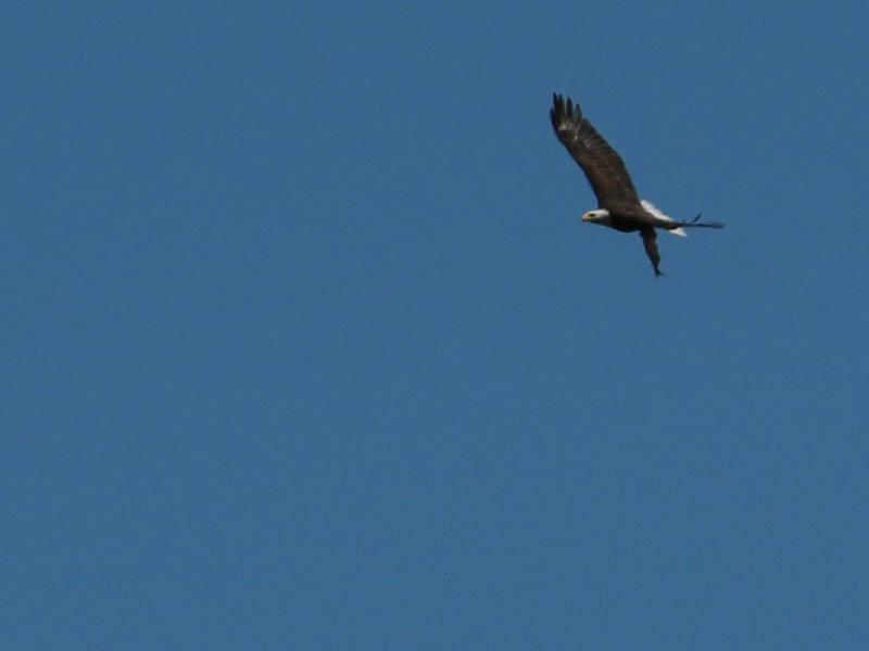baldeagle-nestweekeleven-019