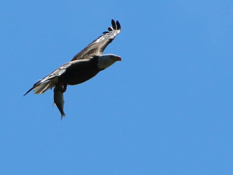 baldeagle-nestweekeleven-022
