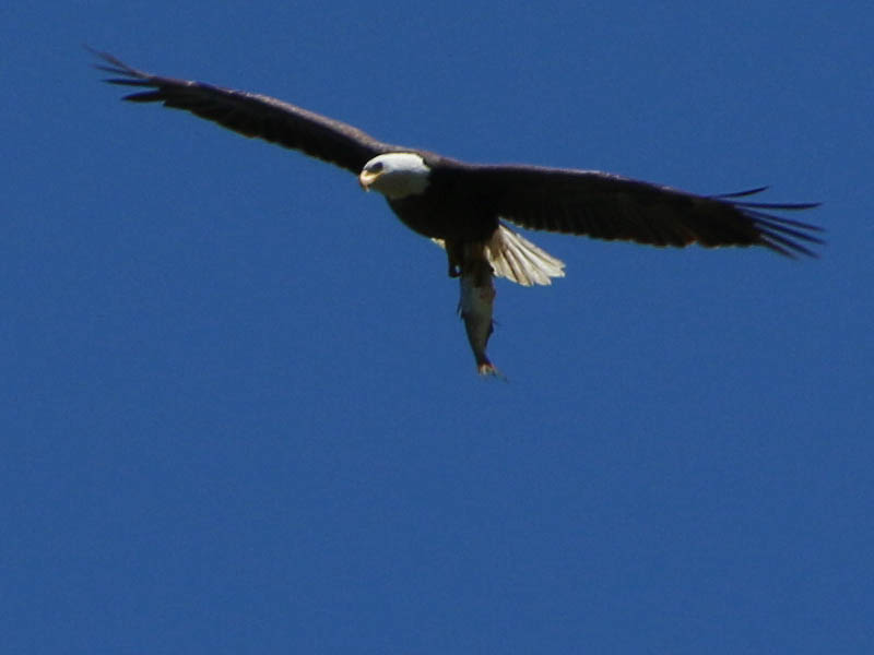 baldeagle-nestweekeleven-023