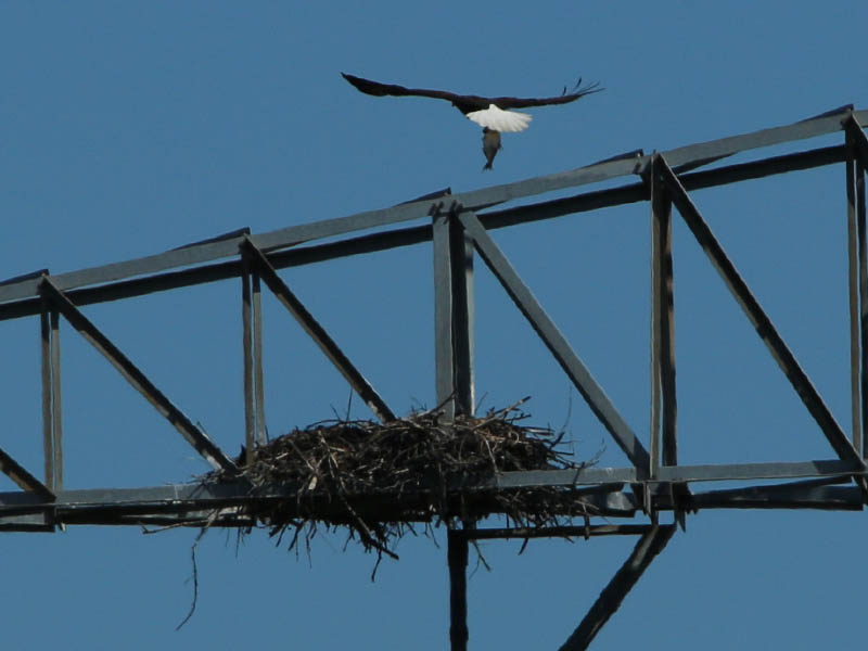 baldeagle-nestweekeleven-024