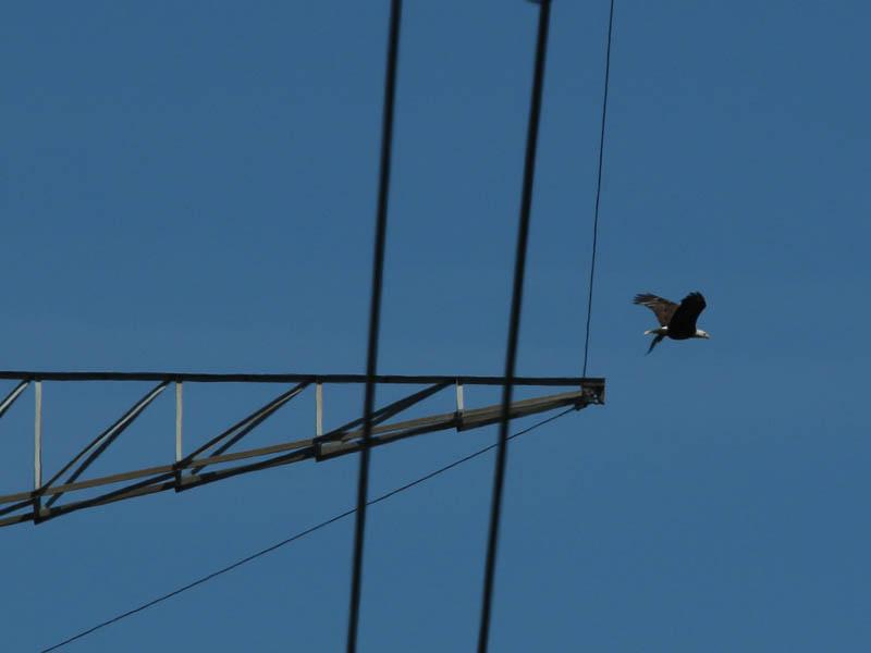 baldeagle-nestweekeleven-025