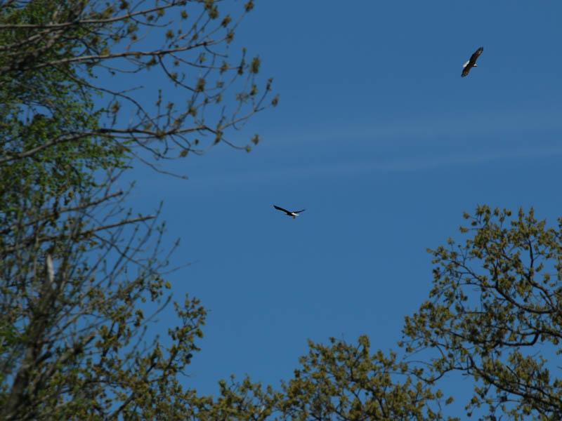 baldeagle-nestweekeleven-026