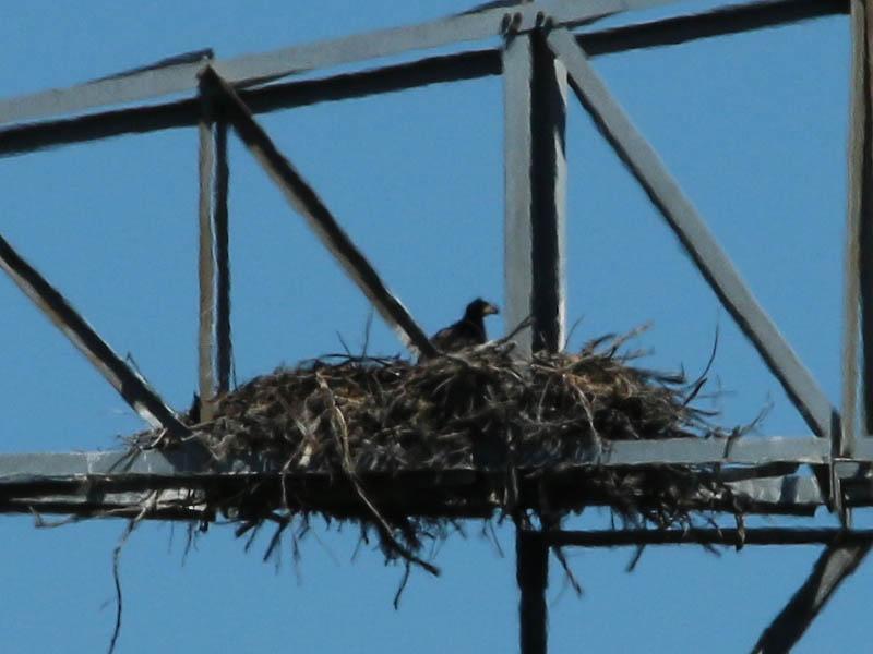 baldeagle-nestweekeleven-029