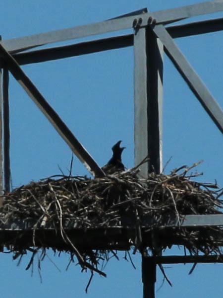 baldeagle-nestweekeleven-030