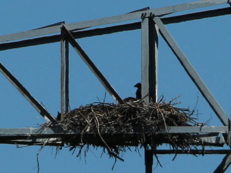 baldeagle-nestweekeleven-031
