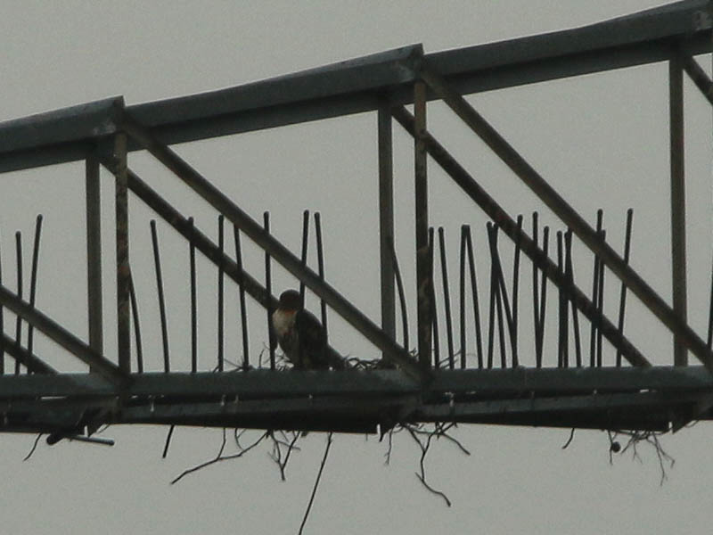 This Red-tailed Hawk has clearly not been excluded, and seems to be considering this location for his nest.