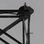 Bald Eagle - Nest: Week Twelve