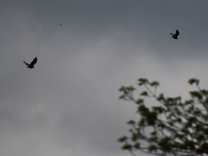 ...and targeted a passing Turkey Vulture.