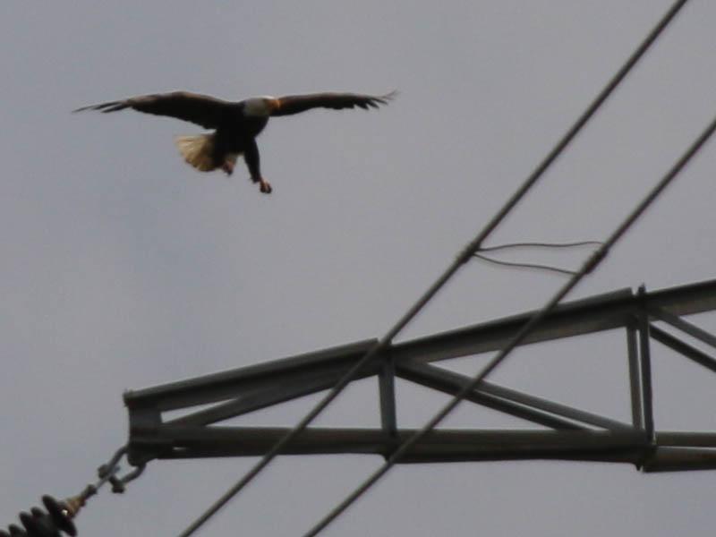 baldeagle-nestweektwelve-015