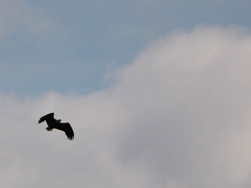baldeagle-nestweektwelve-017