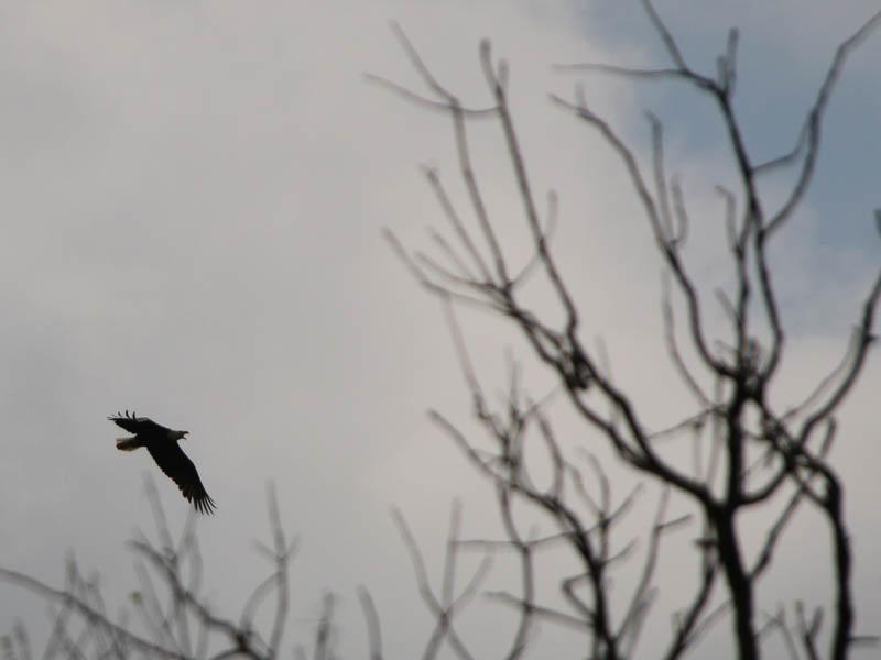 baldeagle-nestweektwelve-018