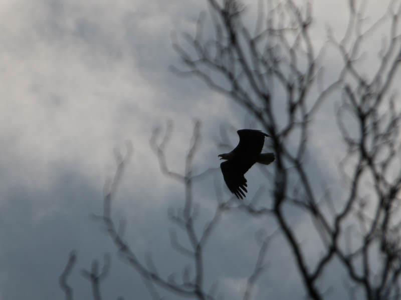 baldeagle-nestweektwelve-019