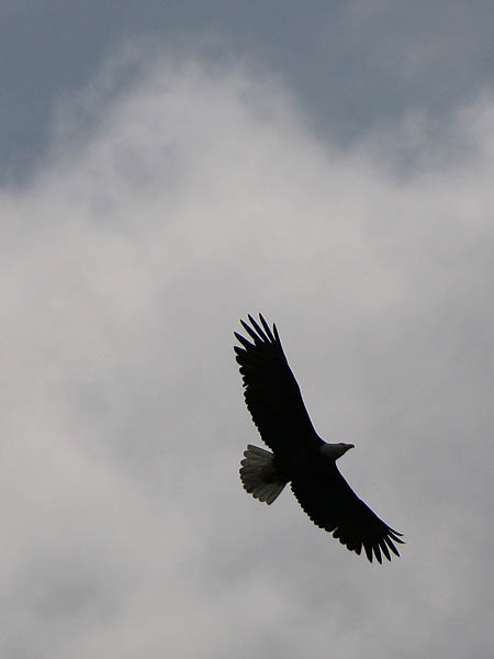 baldeagle-nestweektwelve-022