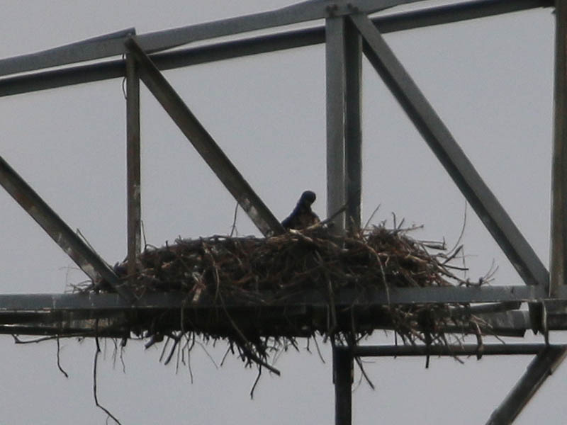 At last an eaglet makes an appearance.