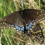 Black Swallowtail - Everywhere