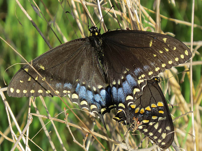 blackswallowtail-everywhere-000