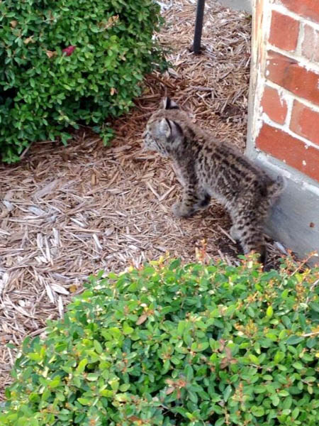 A lone Bobcat kitten in the front yard of a house in a residential subdivision.  This picture was taken early last week.