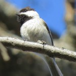 Carolina Chickadee - Little Bird