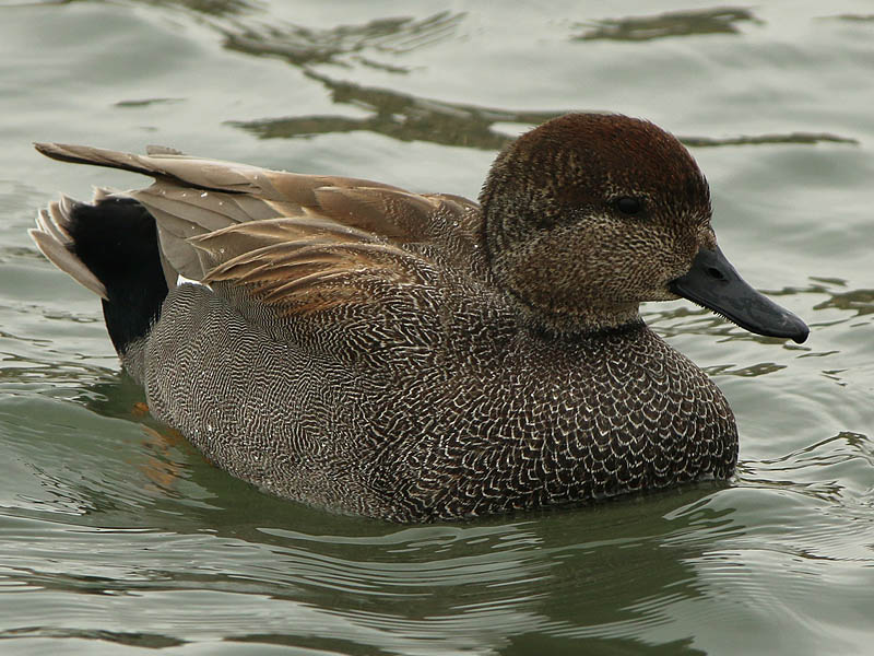 gadwall-hadsome-003