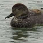 Gadwall - Handsome