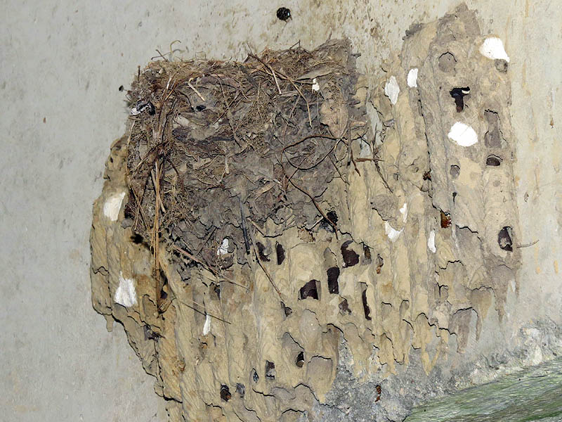 An odd juxtaposition of a swallow nest built on top of an old mud dauber nest.