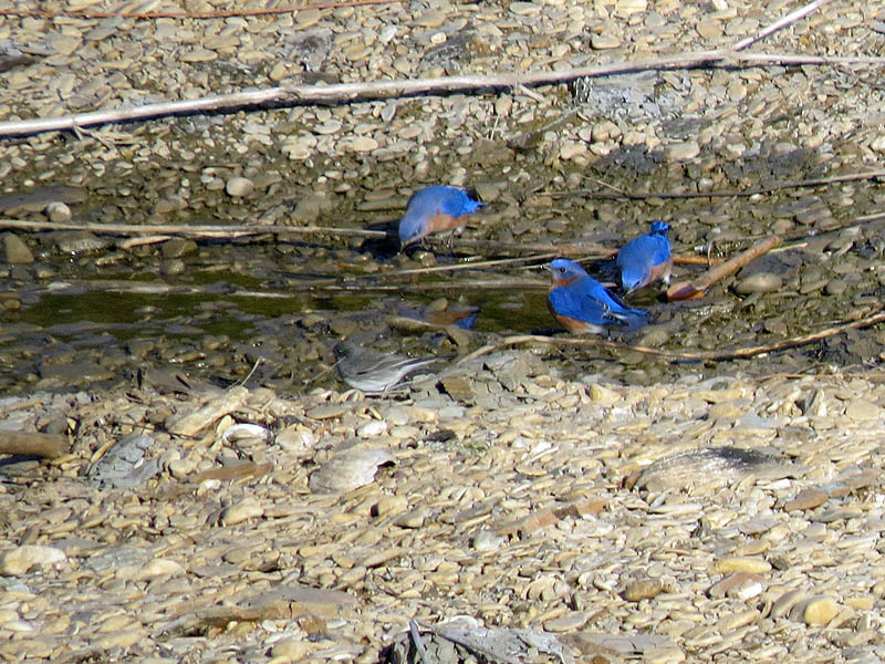 Eastern Bluebirds drinking near the river.