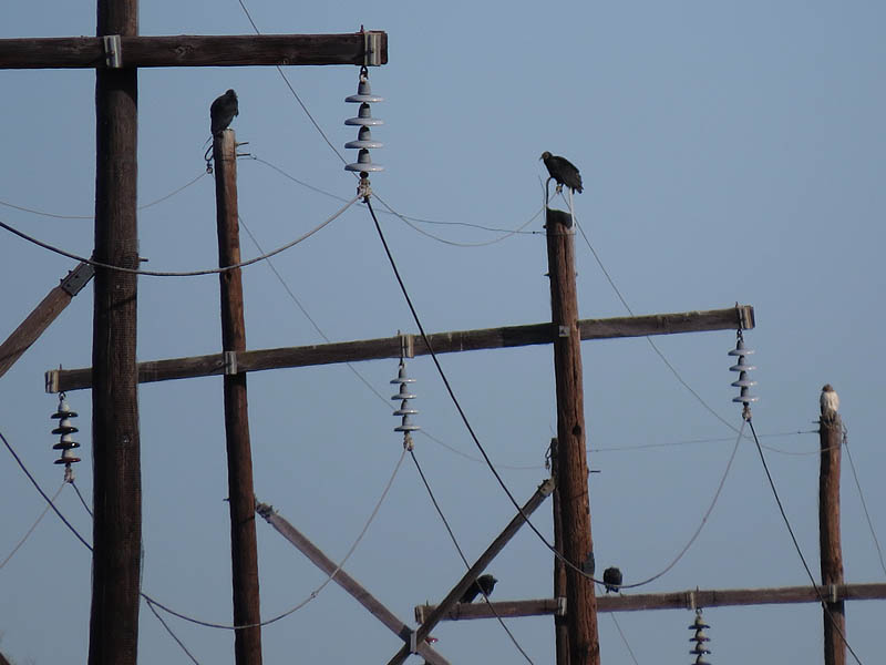 Black Vultures atop utility poles.  Do you see the Red-tailed hawk perched with them?