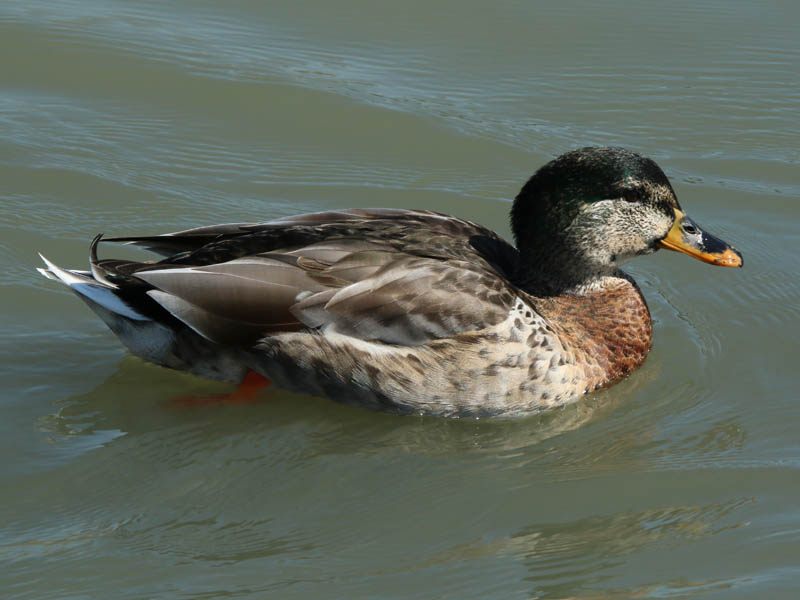 An Intersex Mallard
