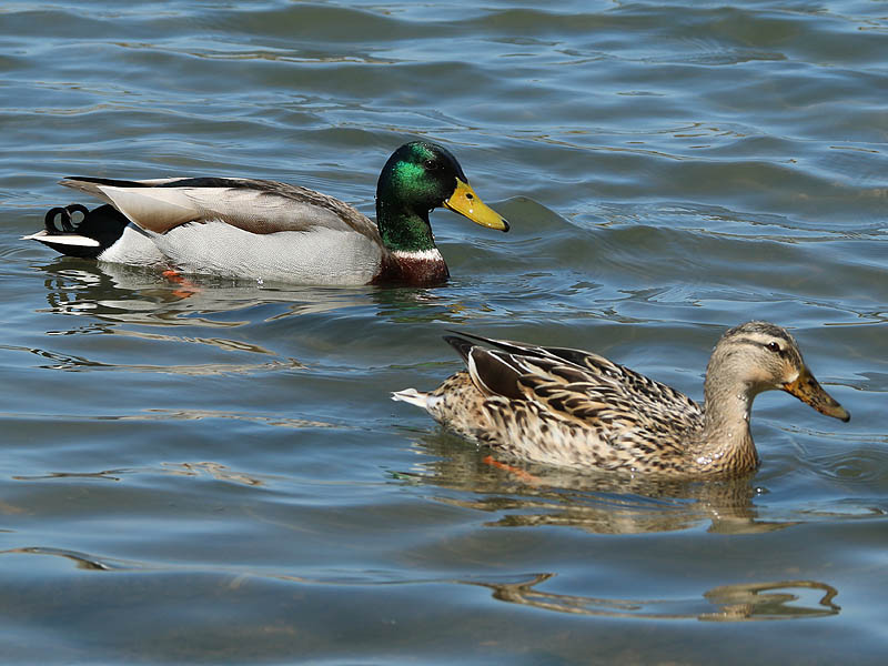 A male Mallard (left) and a female Mallard (right).