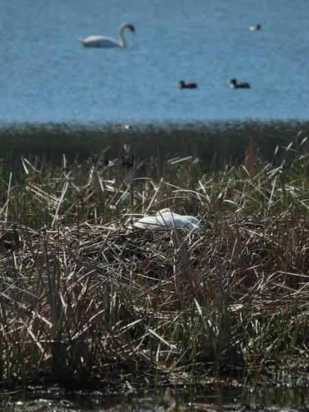 Mute Swan - Nest 2014 Update 1