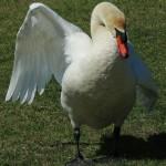 Mute Swan - Nest 2014 Update 2