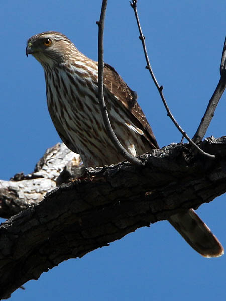 A Sharp-shinned Hawk