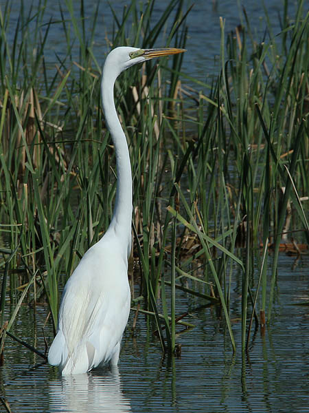 A Great Egret fishing the shallows.