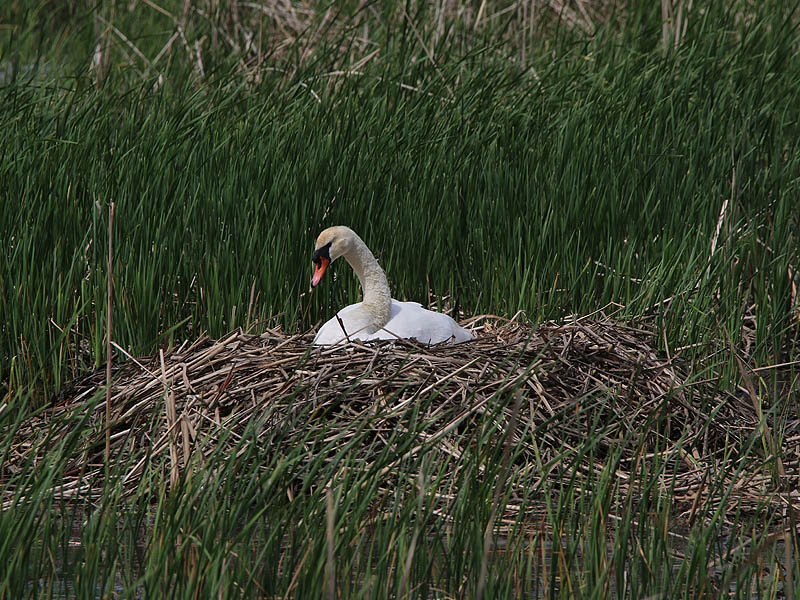 muteswan-nest2014update4-002