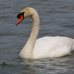 Mute Swan – Nest 2014 Update 3
