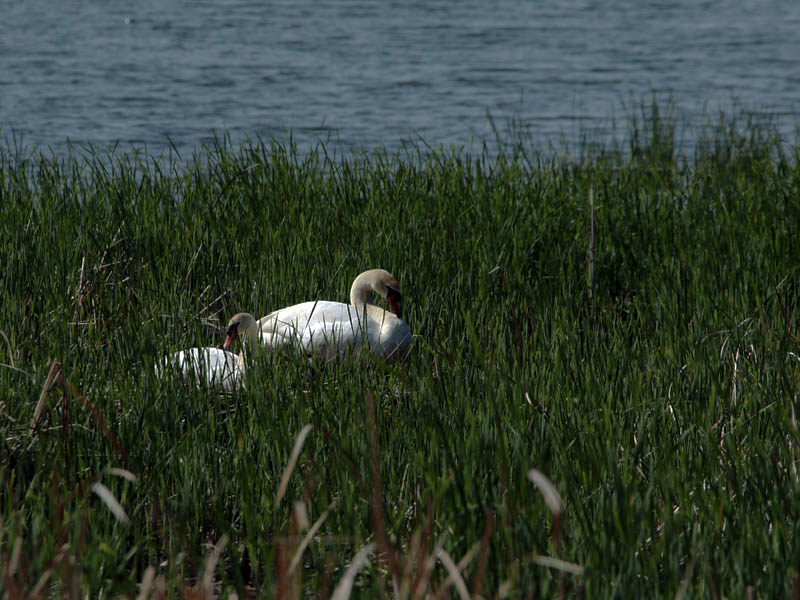 Ordinarily the male would be patrolling the lake while the female incubated the eggs.