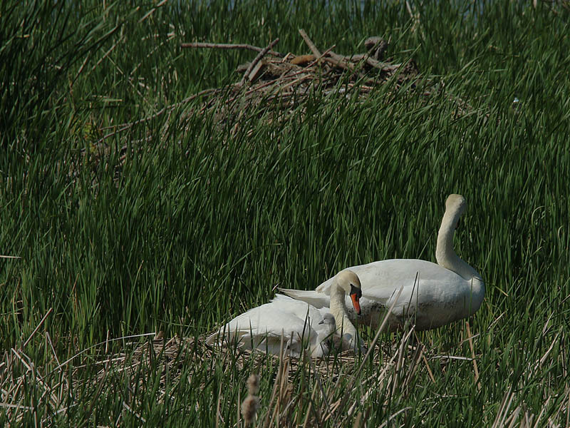 One by one the cygnets made an appearance, but it was difficult to get an accurate count.