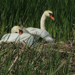 Mute Swan - Nest 2014 Update 4:  This Is It!