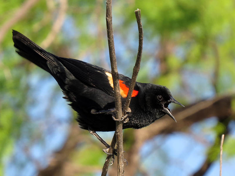 A male Red-winged Blackbird calling out.