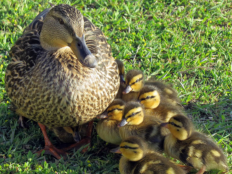 A female Mallard with ten ducklings.