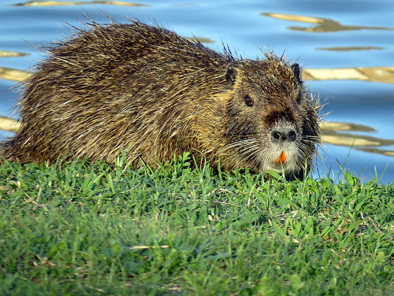 A Nutria feeding on the green grass.