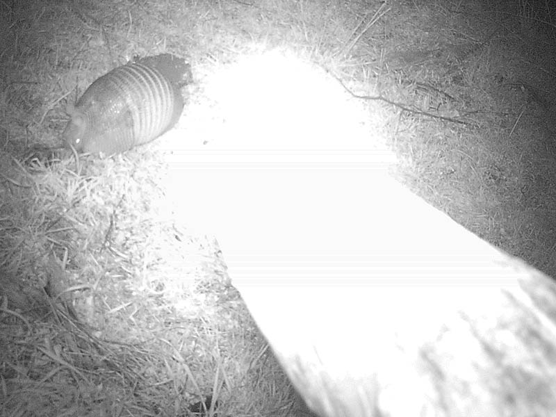 An Armadillo as photographed by the Raccoon.