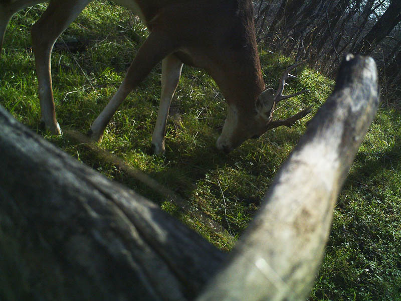 The camera has been shifted again, and another deer is photographed.